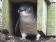 The Nobbies Penguin in its Burrow