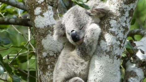Koala Conservation Centre
