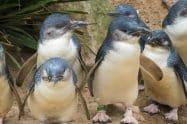 Phillip Island Penguins